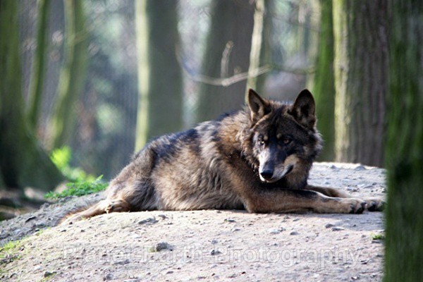Lone Wolf Resting 7 - Wolves