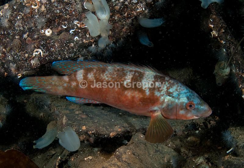 Labrus bergylta - Fishes – bony and cartilagous (Pisces)