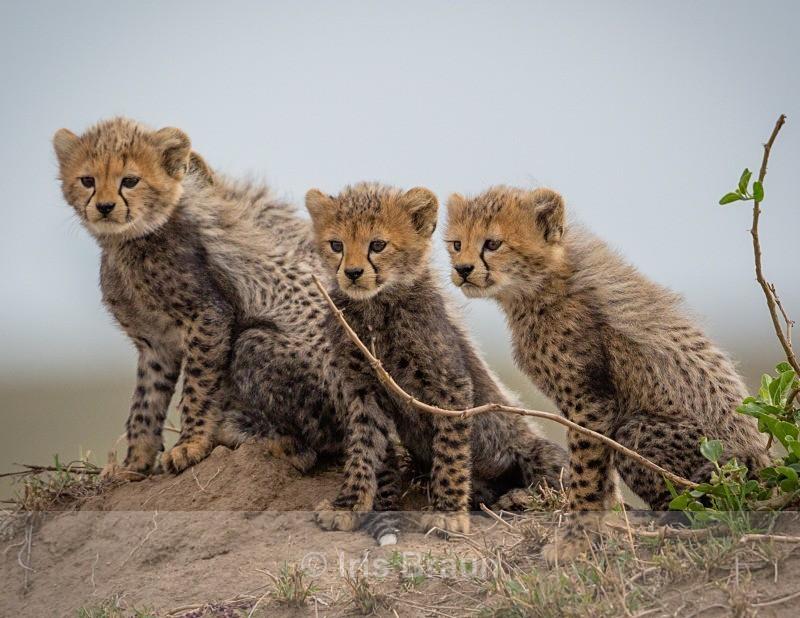 Mara Gang - Cheetah