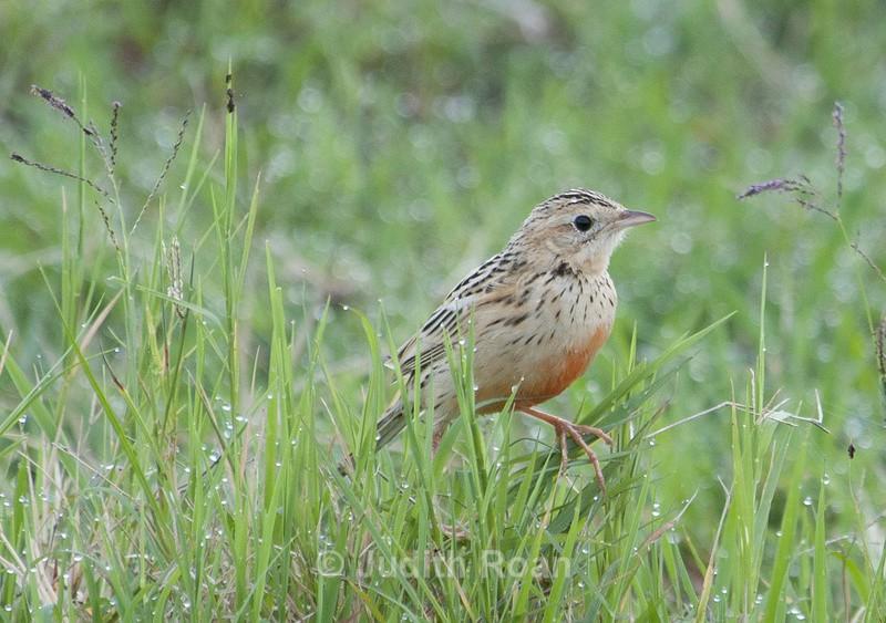Rosy-breasted Longclaw - Tanzania Birds and Mammals