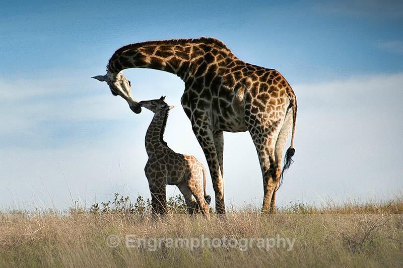 Giraffe mother love-4967 - RSCH Gallery displayed images
