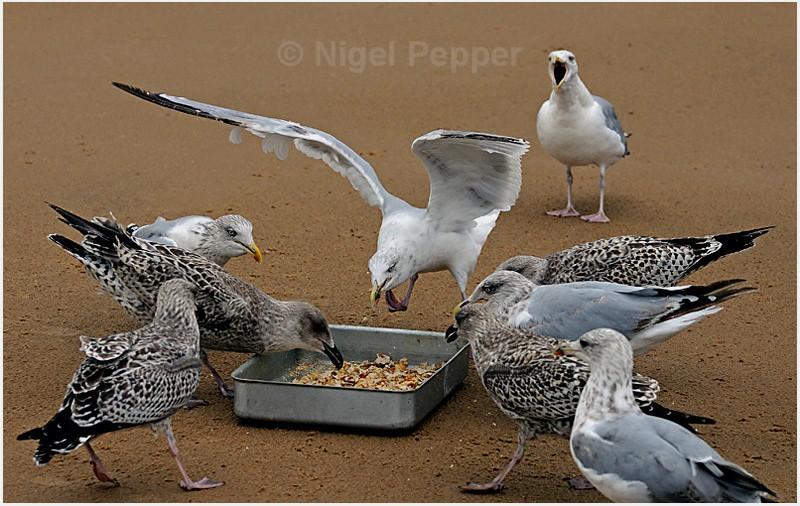 Feeding Time ( 3 ) - Leggy the Herring Gull