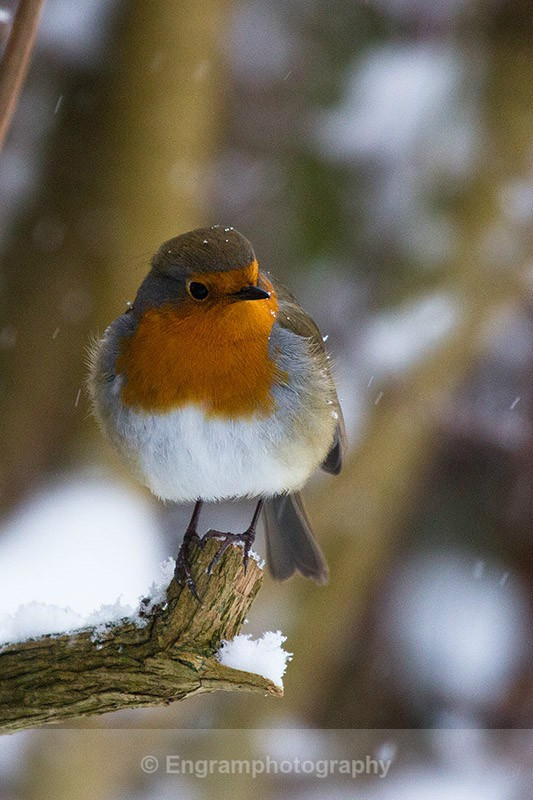 Winter Robin-2896 - RSCH Gallery displayed images