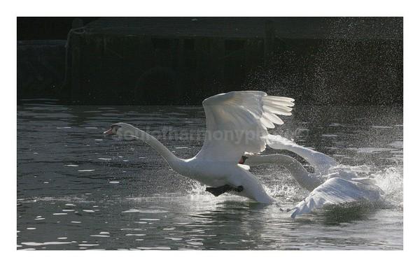 Swans Mating - Wildlife Wildlife