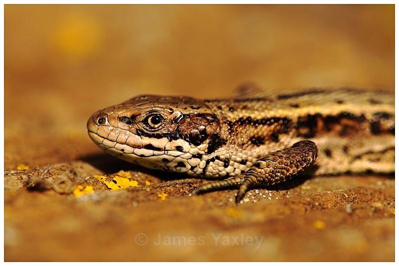 Zootoca Vivipara - The British Wildlife Photography Awards 2009 to 2014