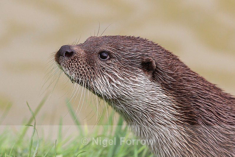 Close-up portrait of Eurasian Otter - Otter