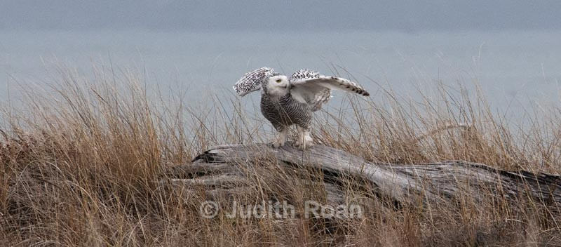 - Snowy Owls
