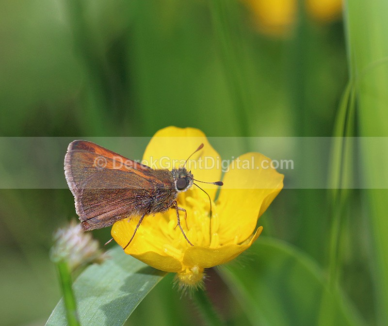 Polites themistocles - Butterflies & Moths of Atlantic Canada