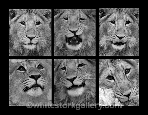 Lion Cub Photo Shoot - Wildlife and Animals