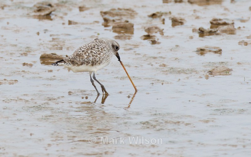 Grey Plover - The rest.....