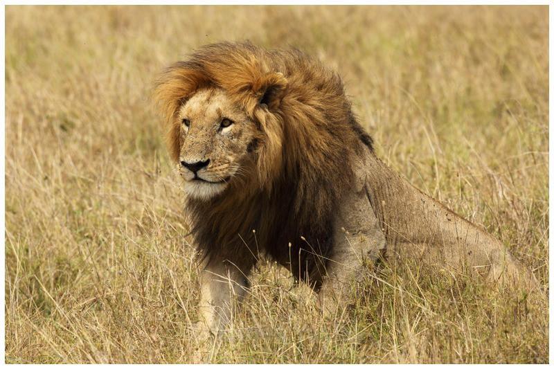 Simba 5 - Kenyan Safari 2013