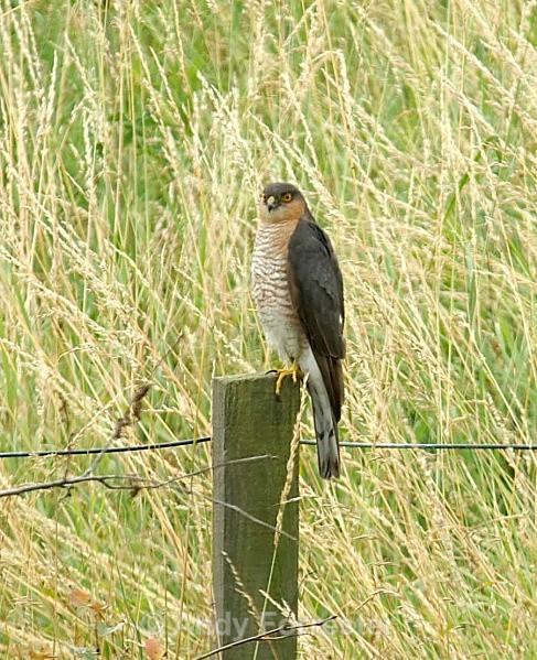 Sparrow Hawk2 - Birds