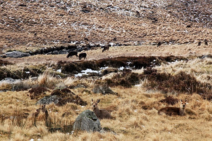 Wild Deer - Landscapes of Ireland - Glendalough and the Wicklow Mountains