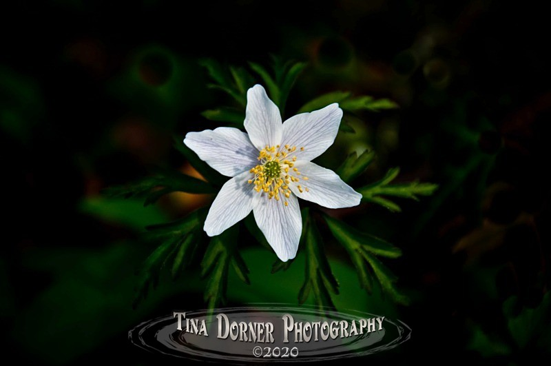 Wood Anemone from Plant and Flower Portfolio by Tina Dorner Photography
