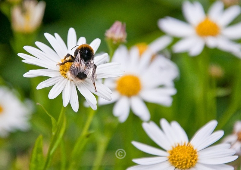 Daisies with bee - FLOWERS