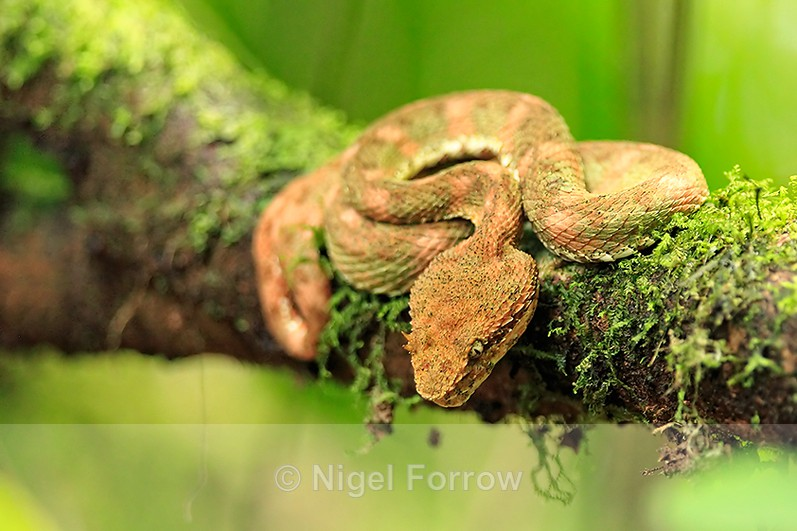 Eyelash Viper resting on a moss-covered branch in the rainforest - REPTILES & AMPHIBIANS