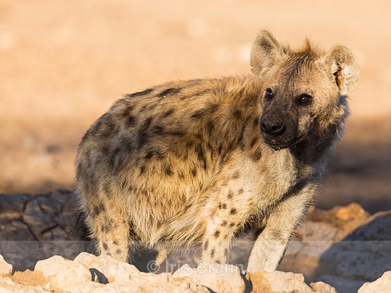 Hyena taking a Bath - Hyena