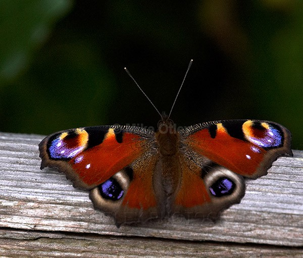 Peacock Butterfly - Flora & Fauna...