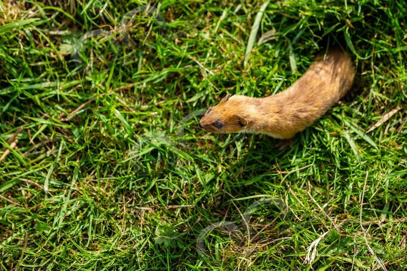 stoat Mustela erminea-1099 - UK Wildlife