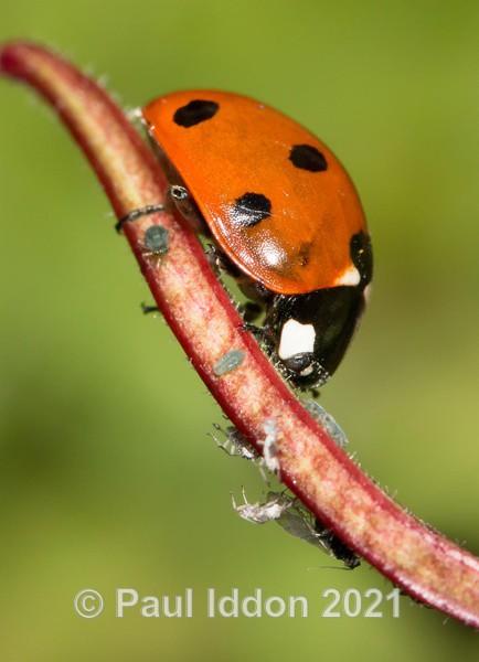 Ladybird Portrait - Macro