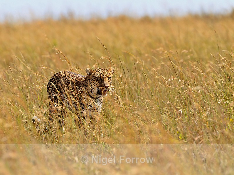 Leopard hunting in the long grass - Leopard