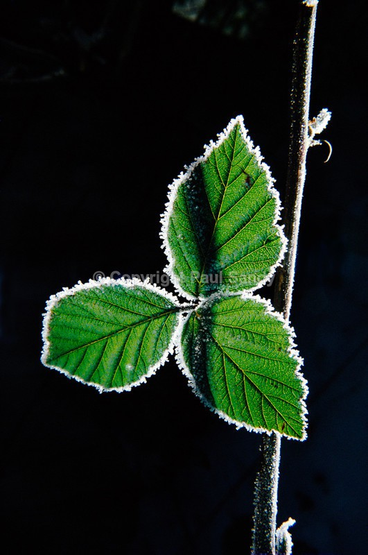 Frost on blackberry leaf - Featured Images
