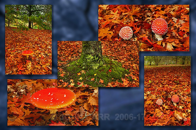 Fly Agaric Mt Lofty (Quintych)Blue - TREES, FLOWERS AND PLANT PHOTOS