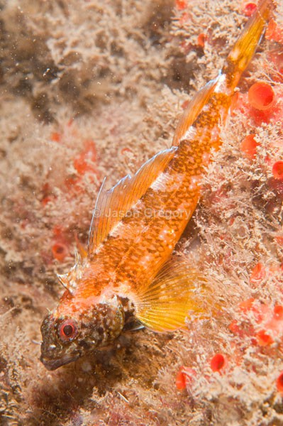 Tripterygion delaisi male - Fishes – bony and cartilagous (Pisces)