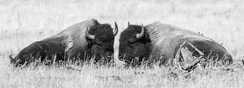 Bison Pair - Yellowstone