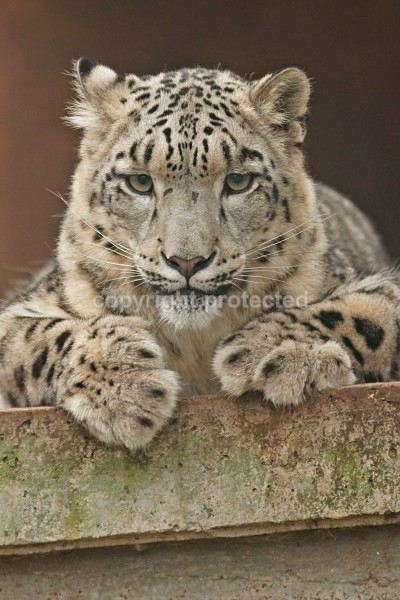 Snow leopard - Nina - Cat Survival Trust - Big and Small Wild Cats