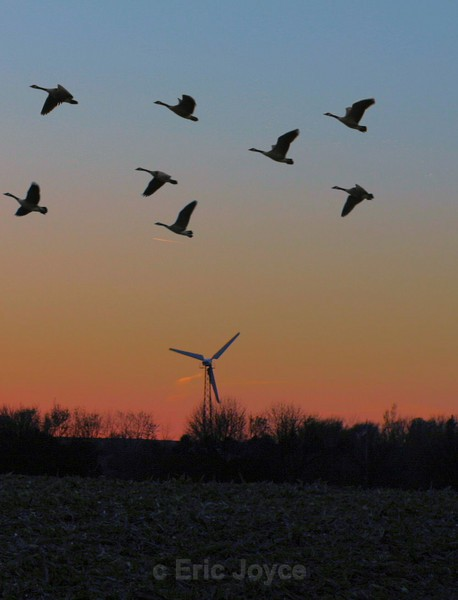 Geese in Flight - Nature