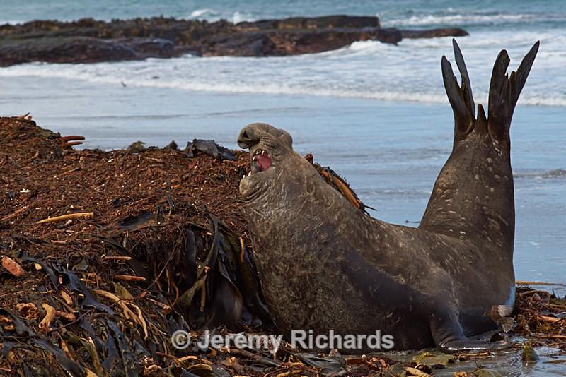 Male Southern Elephant Seal - Sea Lion Island