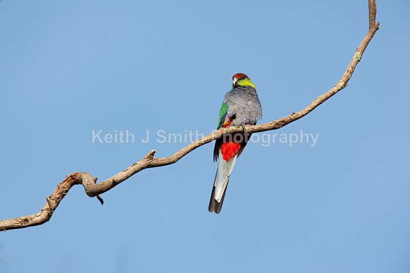 YR6M7757jpg - Red-capped Parrot.