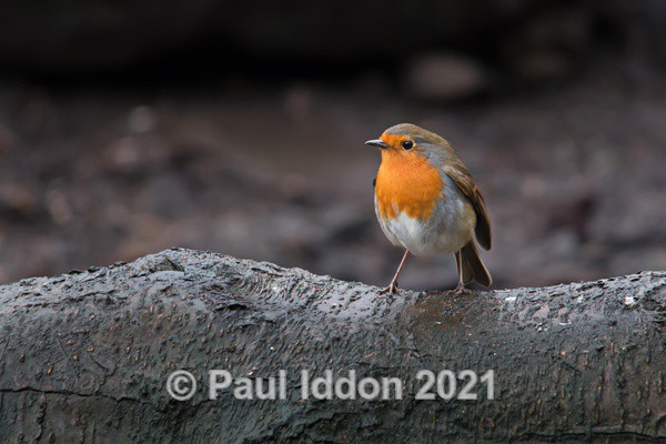 Robin on Fallen Trunk - Nature - Birds and Wildlife
