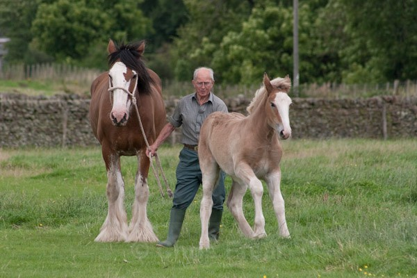 12 - Clydesdales