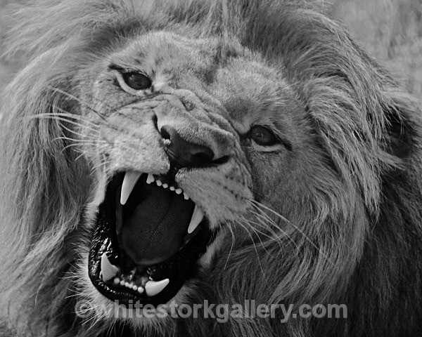 Roar! - Angolian Lion - Wildlife and Animals