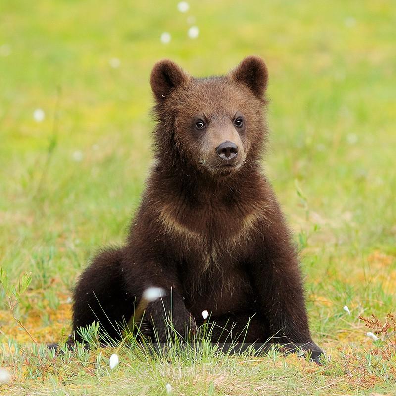 Brown Bear cub at Martinselkonen - Brown Bear