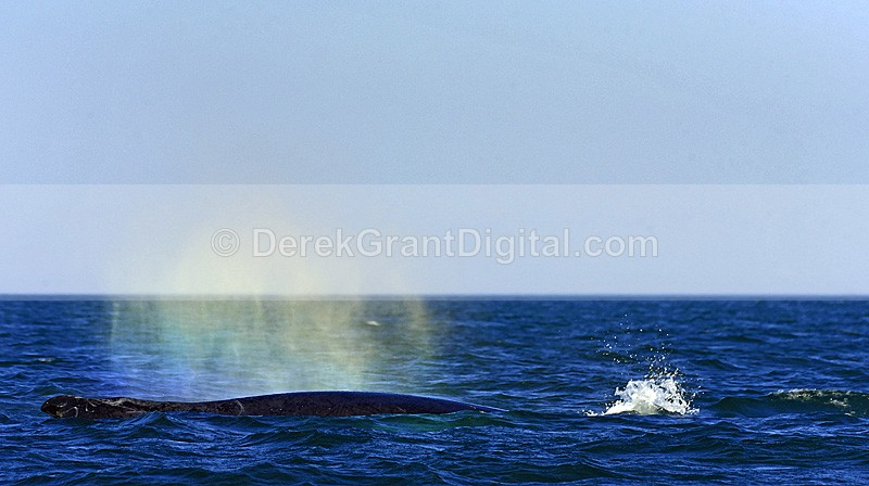 Whale Blow Humpback Whale Megaptera novaeangliae - Bay of Fundy Whales
