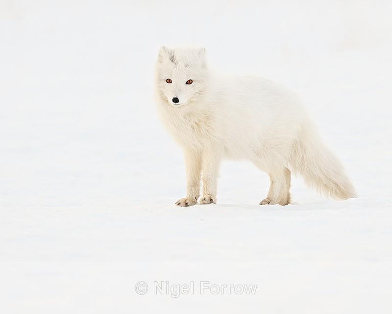 White Arctic Fox, snow background, Svalbard, Norway - Arctic Fox