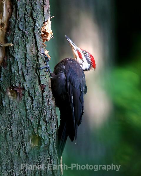 Pilated Woodpecker 1 - Around The World