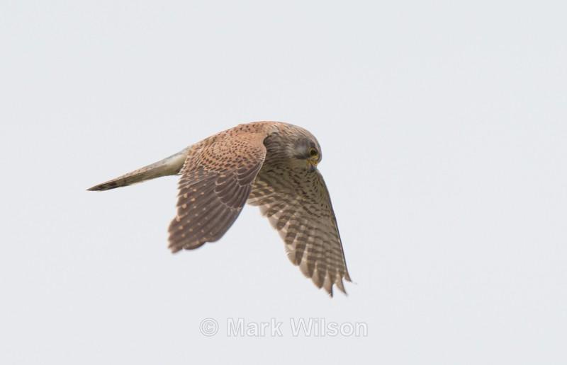 Kestrel - Birds of prey & owls