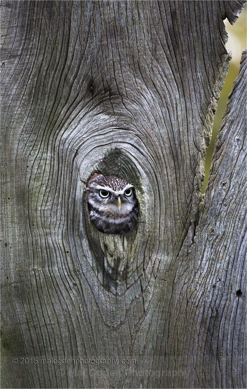 Little Owl - Flora & Fauna