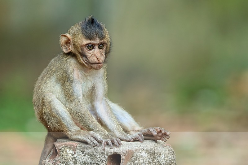 Young Long-tailed Macaque, Gao Giong, Vietnam - Monkey