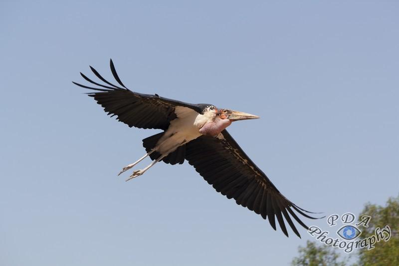 1 Marabou Stork