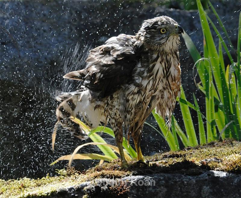 Coopers Hawk - Backyard Bathing Birds