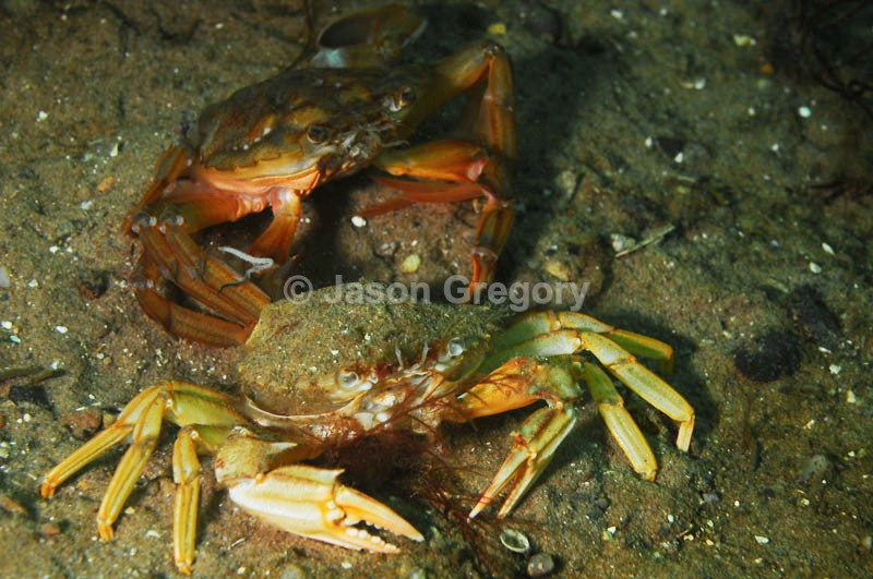 Liocarcinus depurator moulting g - Behaviour observations