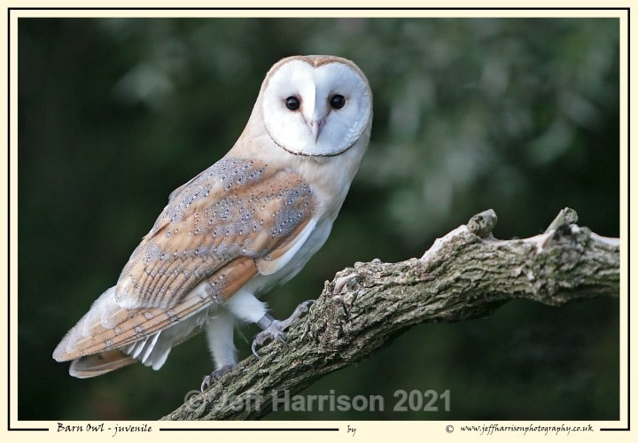 BO 008 - Barn Owls
