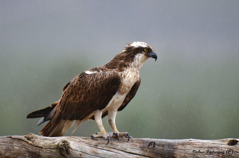 Osprey - Birds Of Prey