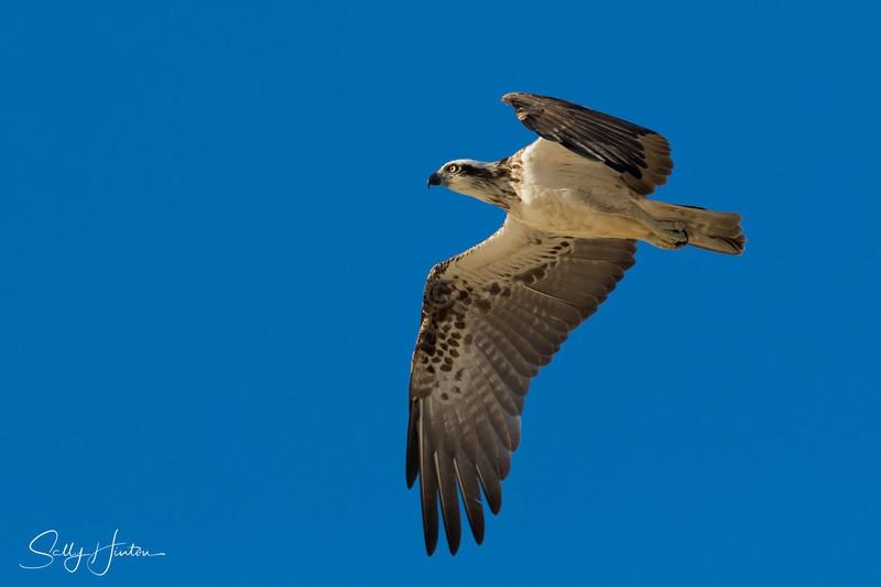 Osprey in Flight 9 - Osprey (For Sale)