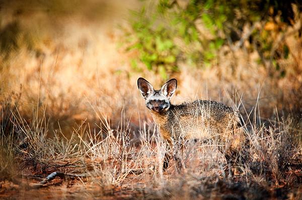 Bat-Eared Fox, Shaba, Kenya